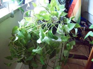 Mia's Plant Three - Lovely Ivy