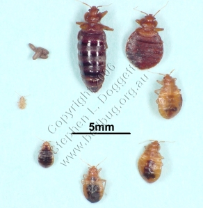 Common Bed Bug Lifecycle
